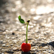 One  small cute  red cherry — Stock Photo
