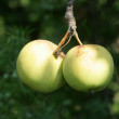 Wild apples — Stock Photo