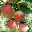 Stock Photo: Red ripe crispy idared apples on branch
