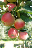 Red ripe crispy idared apples on a branch — Stock Photo