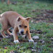 Staffordshire Bull Terrier puppy — Stock Photo #19797835