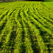 Stock Photo: Green farm field