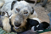 Homeless dog caring for her babies — Stock Photo
