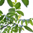 Walnut leaves — Stock Photo