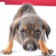 Cute stray puppy in studio — Stock Photo