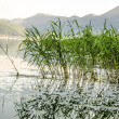 Reed on lake — Stock Photo