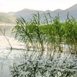 Reed on lake — Stock Photo