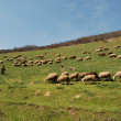Herd of sheep — Stock Photo #32043447