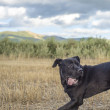 Stock Photo: Cane corso black dog
