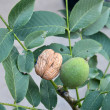 Fats growing walnut tree — Foto Stock