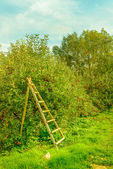 Ladder in the apple orchard ready for picking apples — Stock Photo