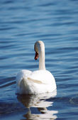 Swan in lake ohrid, macedonia — Stock Photo