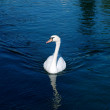 Swans on lake ohrid, macedonia — Stock fotografie