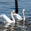 Swans on lake ohrid, macedonia — Stock Photo