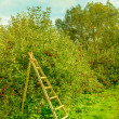 Ladder in orchard in autumn — Stock Photo