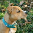 Portrait of Staffordshire terrier — Stock Photo #37215657