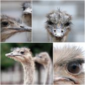 Collage of ostrich — Stock Photo