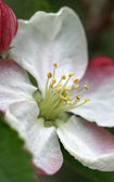 Apple blossom , macro — Stock Photo