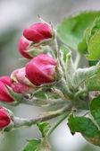 Full bloom apple orchard — Stock Photo