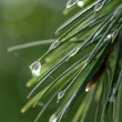 Morning raindrops on young pine — Stock Photo
