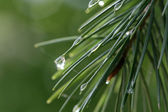 Morning raindrops on young pine — Foto de Stock