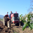 Agriculture ploughing tractor at work against apple blossom — Stock Photo