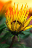Yellow flower — Stock fotografie