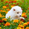 Stock Photo: Samoyed dog