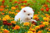 Samoyed dog — Stock Photo