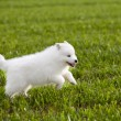 Samoyed dog — Stock Photo #16900341