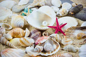 The exotic sea shell . treasure from the sea. — Stock Photo