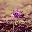 Stock Photo: Crocus.