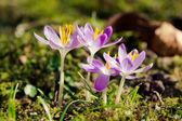 Crocus. — Stock Photo