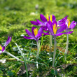 Crocus. — Stock Photo #22244727