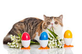 Exotic shorthair cat. — Stock Photo