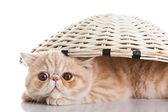 Egzotik stenografi kedi. komik oyun oynayan kedi — Stok fotoğraf