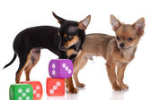 Chihuahua , 5 months old. chihuahua dog with dice isolated on w — Stock Photo