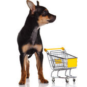 Chihuahua dog with shopping cart — Stock Photo