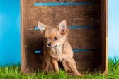 Chihuahua, âgé de 5 mois. chien chihuahua isolé sur blanc arr.plans — Photo