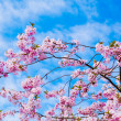 Sakura flowers blooming. Beautiful pink cherry blossom — Stock Photo #24404913