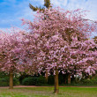 Sakura flowers blooming. Beautiful pink cherry blossom — Stock Photo #24405993