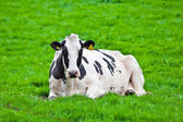 Mucche sul prato — Foto Stock