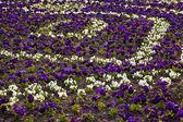 Heartsease, flower garden. flowers background pansy — Stock Photo