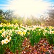 Spring time. narcissus flowers — Stock Photo