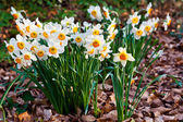 Narcissus flowers. — Stock Photo