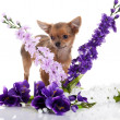 Stock Photo: Chihuahudog with flowers on white background.