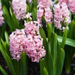 Hyacinth flowers. Spring flowers — Stock Photo #24864953