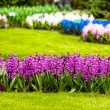 Hyacinth flowers. Spring flowers — Stock Photo #24865447