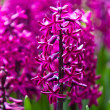 Hyacinth flowers. Spring flowers — Stock Photo #24865701