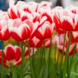 Colorful tulips. Beautiful spring flowers. Spring landscape — Stock Photo #24866155